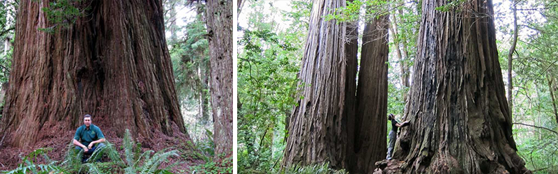 Redwoods in Humboldt County